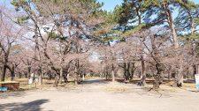 桜開花情報(3/17)