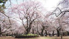 桜開花情報(3/21)