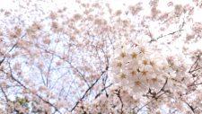 桜開花情報(3/22)