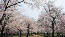 桜開花情報(3/26)