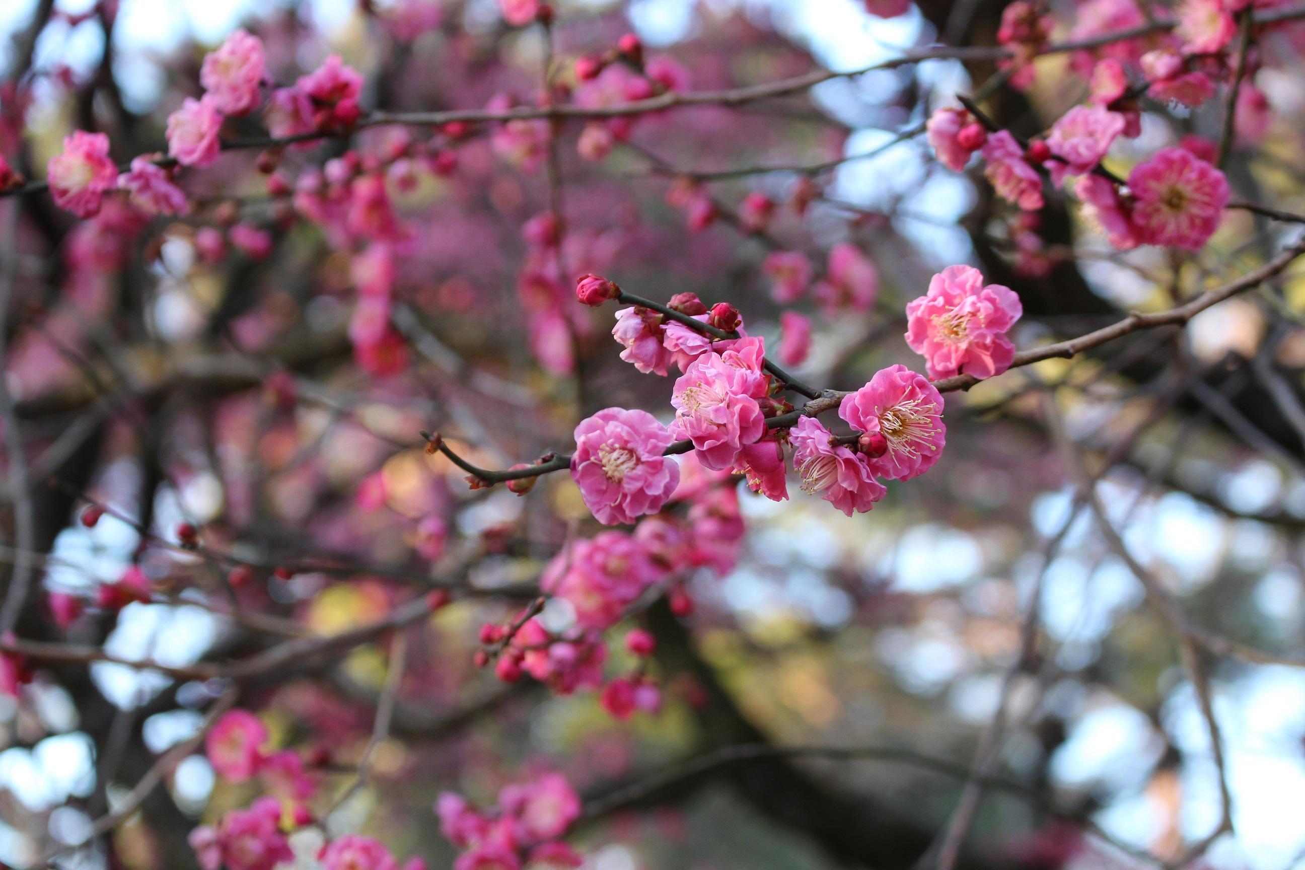 大宮公園 梅の花①