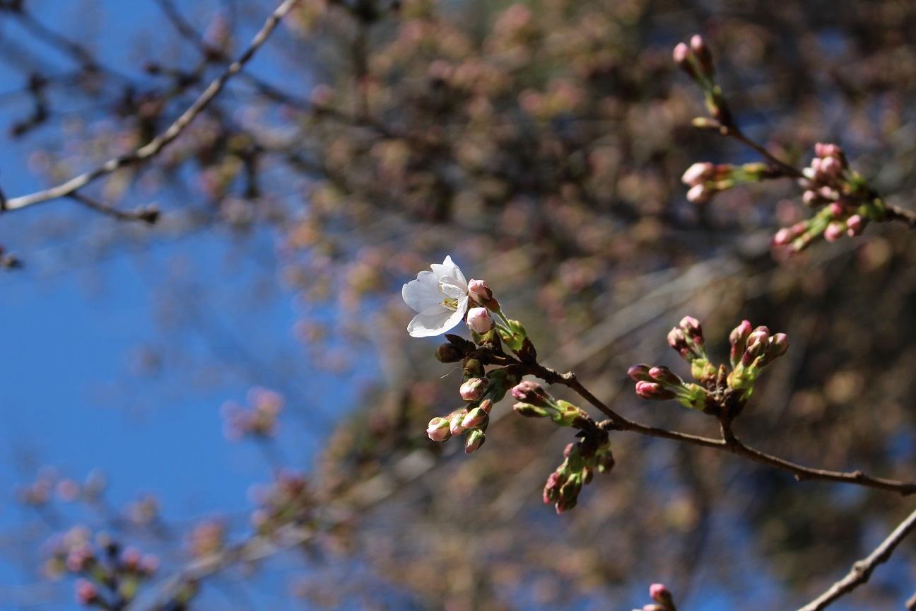 大宮公園 桜(2015/3/24)④