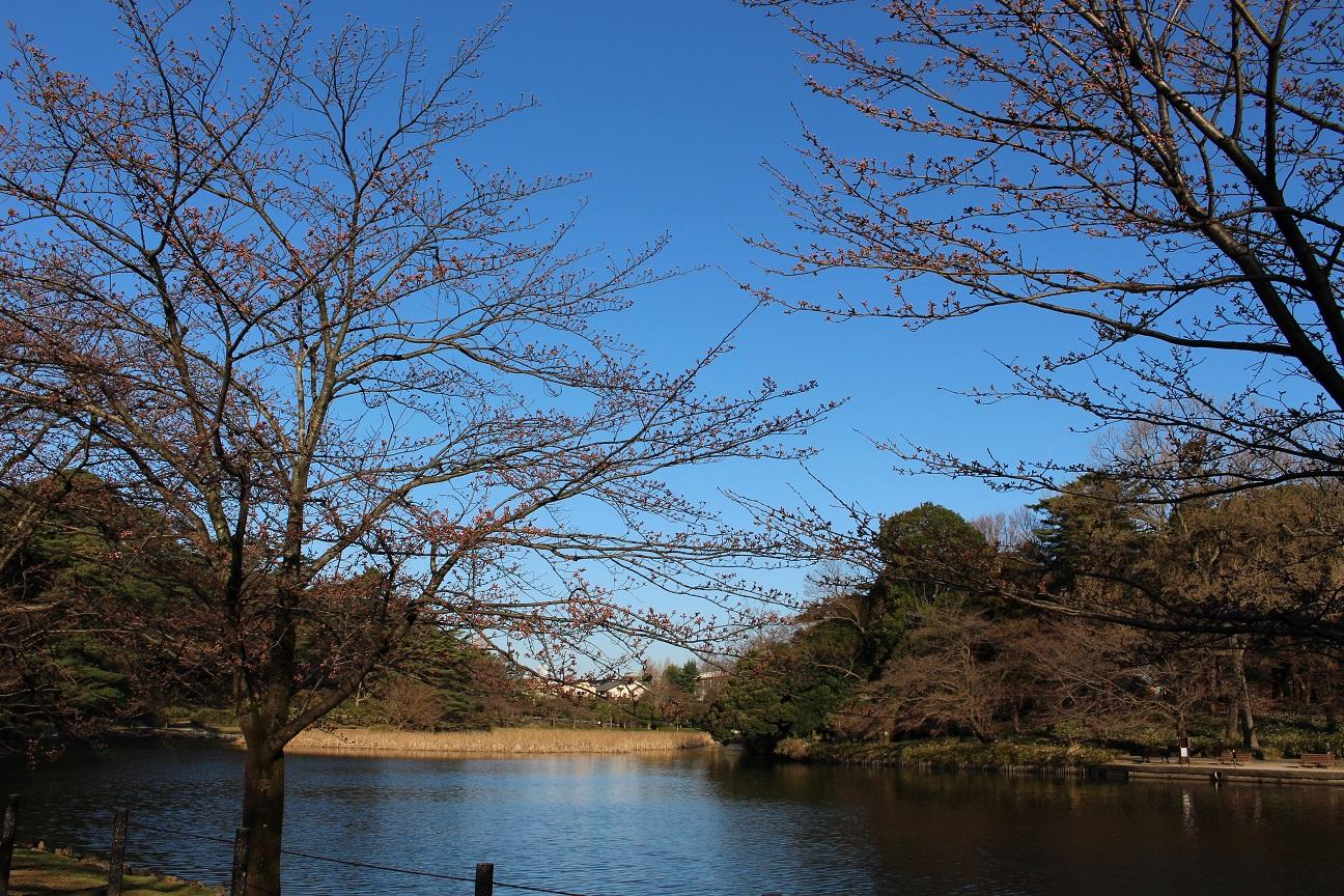大宮公園 桜(2015/3/25)③
