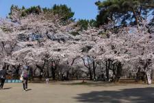 自由広場前の桜