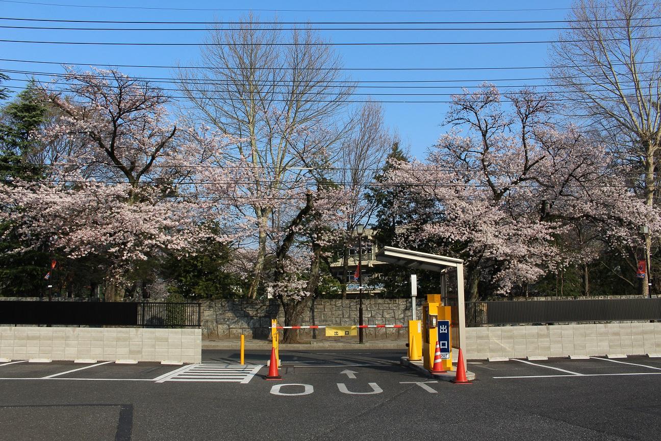 大宮公園パーキング前の桜②
