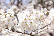 桜開花情報(3/24)