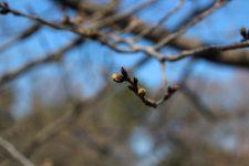 桜開花情報(3/14)