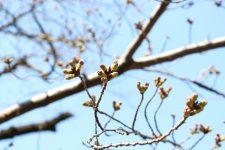 桜開花情報(3/20)
