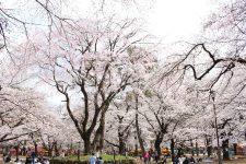 桜開花情報(3/28)