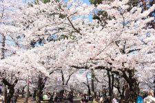 桜開花情報(4/1)
