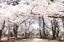 桜開花情報(4/3)